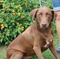 Hunter 18842 is an adoptable Chocolate Labrador Retriever Dog in Prattville, AL.  Hunter is a 6-year-old male Chocolate Lab mix who has already been neutered. His healthy coat is chocolate with just...
