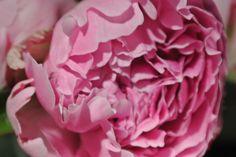 <3 Cabbage, Vegetables, Rose, Flowers, Plants, Floral, Vegetable Recipes, Roses, Plant