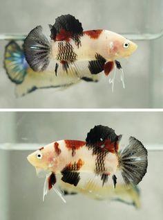 AquaBid.com - Item # fwbettashmp1390061376 - ==== FANCY HMPK #66 ==== - Ends…