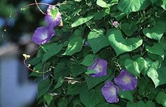 Google Image Result for http://www.aspca.org/~/media/Files/pet-care/poison-control/plants/large-images/morning-glory-1.ashx
