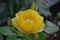 Yellow Rose, my favorite :)