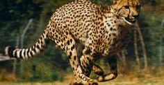 Na terra, ninguém bate a rapidez do guepardo. O felino faz quase 100 quilômetros por hora em apenas três segundos, para desespero de suas presas na savana. A corrida, no entanto, dura pouco: como o animal gasta muita energia, ele consegue percorrer 275 metros nessa velocidade