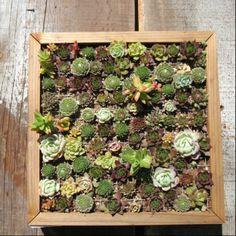 Framed sedum plants