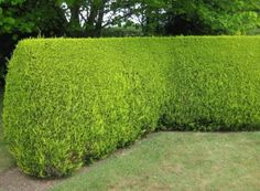 10 Fast Growing Hedges For Privacy - Gardeners' Guide Hedges Landscaping, Garden Hedges, Backyard Pool Landscaping, Front Yard Landscaping, Backyard Layout, Privacy Hedges Fast Growing, Fast Growing Hedge Plants, Fast Growing Evergreens, Best Trees For Privacy
