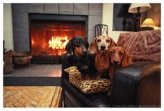 One of the best ways to fight the chill on a cold winter's night is with a blazing fire. Humans aren't the only ones who really enjoy a warm and cozy cuddle by the fireplace. Our dogs love it, too! Check out these pooches staying warm in winter! Keep Warm, Warm And Cozy, Mini Dachshund, Daschund, Weenie Dogs, Cute Dogs, Awesome Dogs, Dog Love, Best Dogs