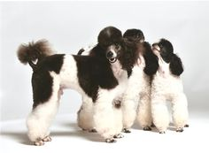Beautiful black parti poodles in either a lamb or modern clip / cut.