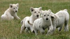 White lion cubs born Germany | Pictured are white lions, who were born in the same set as those at ...