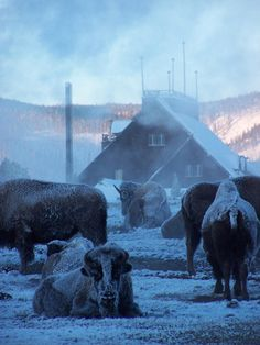 Bison huddle near Old Faithful Inn during the winter.