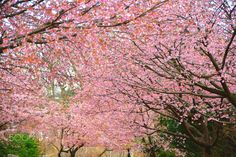 Season of an early cherry tree - In being still 2 week destination in Tokyo, here, Izu area Then the kind is different, but a flower of a cherry tree is already in full bloom at everywhere. A season still takes on the winter aspect. The spring is near!