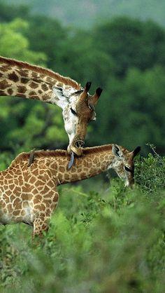 giraffes_couple_grass_cub_care_walk_55994_640x1136   Flickr