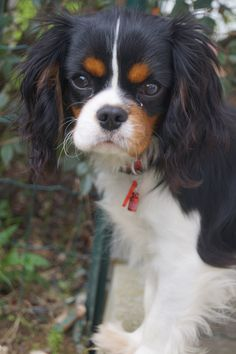 Tricolor Cavalier King Charles Spaniel …