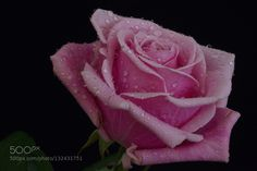 pink rose by L8Xpress