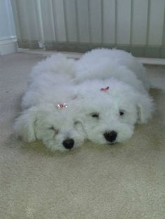 Bichon Frise dog Omg too Cute!!!!!!!!!!!!!