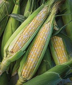 Corn, Nirvana Hybrid.The highest quality of kernel taste and texture.