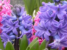 I can smell them! Flowers Images: Hyacinth