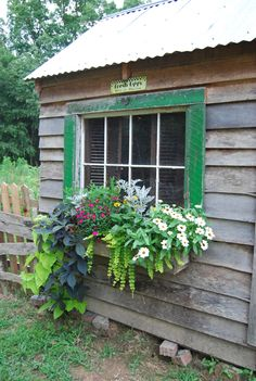 Window box filled with 'Marguerite' daisies and 'Blackie' sweet potato vines, Dusty Miller, Million bells, trailing golden Creeping Jenny and white-blossomed Zinnias.