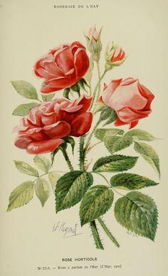 Rose horticole. Les roses cultivées à l'Haÿ en 1902  Paris :Rousset,1902.  Biodiversitylibrary. Biodivlibrary. BHL. Biodiversity Heritage Library