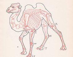 Plaque Vintage Camel anatomie impression Illustration squelette couleur livre animaux