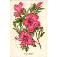 1854 Azalea Botanical Print by Van Houtte #1 #rubylane #VintagePrint
