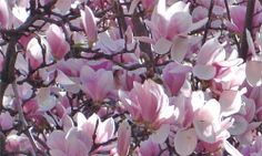 Alexander Magnolia (Magnolia x soulangiana ) Moderate grower to ft. Spectacular large shrub/small tree valued for it. Deciduous Trees, Garden Boxes, Small Trees, Trees To Plant, Shrubs, Magnolia, Porch, Gardening, Exterior