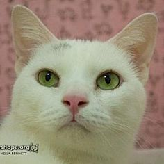Sayreville, New Jersey - Domestic Shorthair. Meet JOY, a for adoption. https://www.adoptapet.com/pet/21225131-sayreville-new-jersey-cat