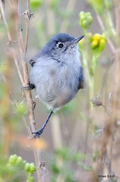 Polioptila californica californica; Coastal California Gnatcatcher