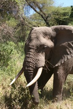 Safari - Elephant.. One day I will get to ride an elephant again