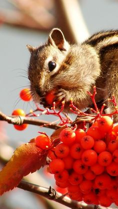 rowan, berries, chipmunk, fruits, stocks