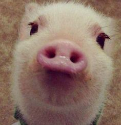 Imagine if the film, word processing and home electronics industries had refused to innovate. Then imagine that these industries went as far as mocking t. Beautiful Creatures, Animals Beautiful, Farm Animals, Cute Animals, Cute Piggies, Long Lashes, Eyelashes, Baby Pigs, This Little Piggy