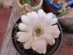 28 de agosto, año 2015 - Ciclo lunar del cactus Florindio, flor que se apodera del cactus...