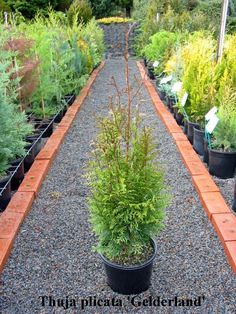 http://www.conifer.com.au/objectlibrary/2756Thuja plicata 'Gelderland' Thuja plicata 'Gelderland'  A upright tree with aromatic deep green foliage which tend to have bronze overtones in winter. An excellent screening plant. Fast growing to more than 4M in the first 10 years.