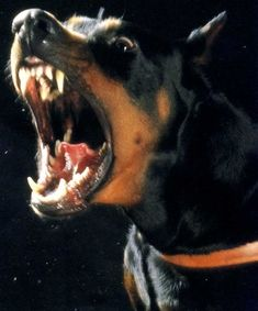 The Doberman Pinscher is among the most popular breed of dogs in the world. Known for its intelligence and loyalty, the Pinscher is both a police- favorite Perro Doberman Pinscher, Doberman Dogs, Dobermans, Rottweiler Puppies, Doberman Tattoo, Rottweiler Funny, Doberman Ear Cropping, Black And Tan Terrier, Dog Barking