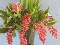 BLMG Size Mini Oncidium Twinkle Pink Profusion Orchid Plant