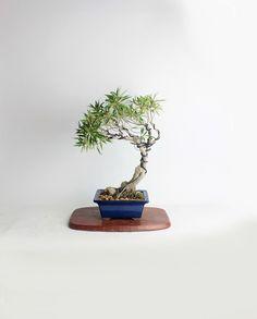 "Willow leaf fig bonsai tree ""Winter'16 Fig collection by LiveBonsaiTree"" by LiveBonsaiTree on Etsy"