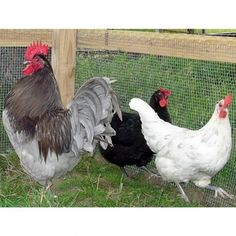 10 Amazing Reasons to Raise Jersey Giant Chickens