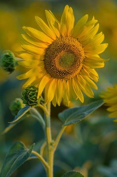 Stunning Sunflower are Just Beautiful Garden Sunflower Garden, Sunflower Art, Sunflower Fields, Yellow Sunflower, Happy Flowers, Pretty Flowers, Sun Flowers, Sunflowers And Daisies, Poppies