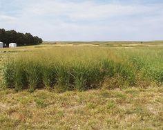 Switchgrass, Panicum virgatum.  Source: USDA/John Berdahl.