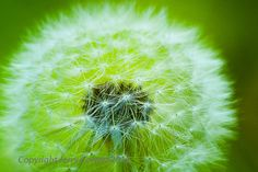 Beautiful Soft Fluffy Dandelion Flower fine art photography in by PhotosbyJerryCowart   https://www.etsy.com/listing/223524208/beautiful-soft-fluffy-dandelion-flower