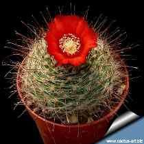 10sementes Cactos Parodia Microsperma Cactus-frete Gratis@