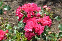 Rosa 'JACmound' Good 'n Plenty Rose- Alfond Children's Garden