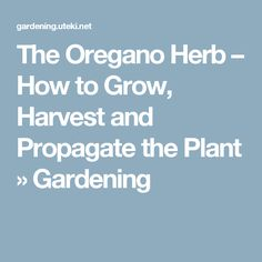 The Oregano Herb – How to Grow, Harvest and Propagate the Plant » Gardening