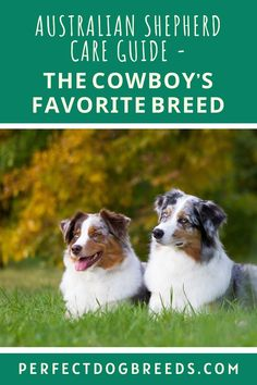 If you want to own an Australian Shepherd dog, Perfect Dog Breeds has an informative guide that will tell you exactly the temperament and personality of this dog so you know if this dog will suit your lifestyle. Included is this dog's dietary, exercise, grooming needs as well as specific health concerns that affect this breed. Our pros and cons section will tell you if this dog will be a good match. Download the report… #australianshepherdguide #australianshepherdfacts… Large Dog Breeds, Large Dogs, Western Film, Australian Shepherd Dogs, Most Popular Dog Breeds, Dog Care, Cowboys, Pup, Personality