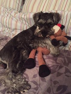 A schnauzer and it's toys .... sweet!