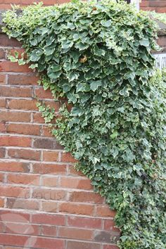 Buy English ivy / common ivy Hedera helix Glacier - Small, grey-green leaves with cream markings: 2 lt pot cane): Delivery by Crocus Outdoor Landscaping, Outdoor Plants, Front Yard Landscaping, Ivy Plants, Green Plants, Creepers, English Ivy Plant, English Garden Design, Ivy Wall