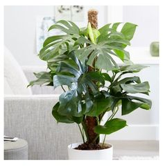 deliciosa - swiss cheese plant Buy Large - swiss cheese plant (syn Mostera pertusum ) Monstera deliciosa: Delivery by CrocusMonstera epipremnoides Monstera epipremnoides is a species of flowering plant in the Araceae family, endemic to Costa