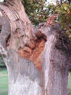 Heart of Oak. Special trees.