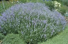 Blue Cushion Lavender. So easy to grow even I can't kill it!!!!