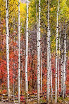 Aspen Tree Wall Mural Aspen Forest in Autumn Wall Mural Murals