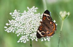 """Common Buckeye Butterfly  Junonia coeni on Queen Anne's Lace (Daucus carota) also called """"Wild Carrot,""""  This plant blooms from May to October. It is a biennial plant, which means it lives for two years. It will spend the first year growing bigger, and then bloom the second year."""