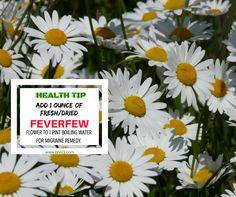 Relieve your migraine using Feverfew!Just add 1 ounce of fresh/dried Feverfew flowers to a pint of boiling water. Steep for 10 mins. and then strain. Drink 1/2 cup, twice a day or as needed. Your blood vessels become tensed/ constricted during migraine, they expand and press on your nerves. With the help of Feverfew, your blood vessels relax resulting in relief of painful pressure. It contains parthenolide, a substance with similar effect as taking aspirin but it has no side effect…